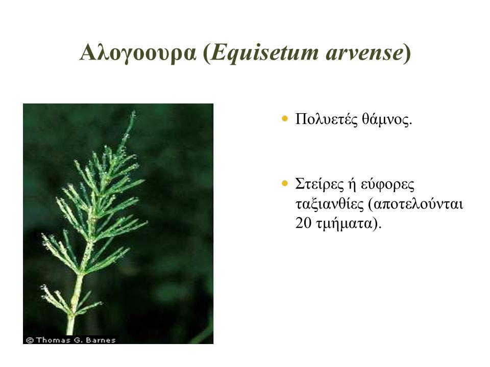 Αλογοουρα (Equisetum arvense)  Πολυετές θάμνος.