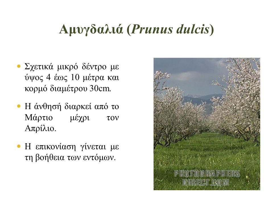 Ροδιά (Punica granatum)  Ερμαφρόδιτα άνθη, διαμέτρου 3cm και χρώματος ανοιχτού κόκκινου.