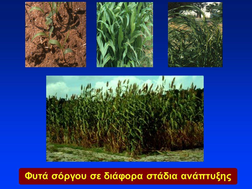 Φυτά σόργου σε διάφορα στάδια ανάπτυξης