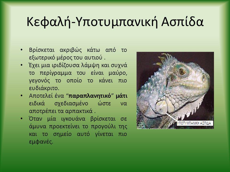 Κεφαλή-Υποτυμπανική Ασπίδα • Βρίσκεται ακριβώς κάτω από το εξωτερικό μέρος του αυτιού. • Έχει μια ιριδίζουσα λάμψη και συχνά το περίγραμμα του είναι μ