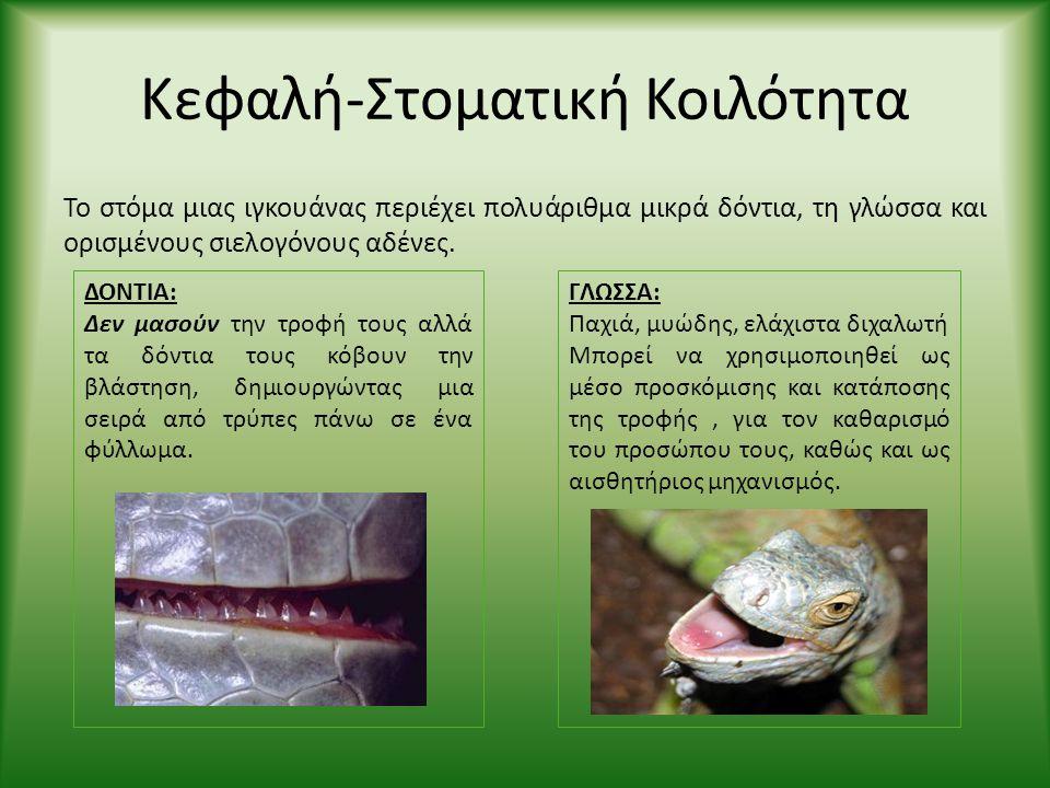 Κεφαλή-Στοματική Κοιλότητα Το στόμα μιας ιγκουάνας περιέχει πολυάριθμα μικρά δόντια, τη γλώσσα και ορισμένους σιελογόνους αδένες. ΔΟΝΤΙΑ: Δεν μασούν τ