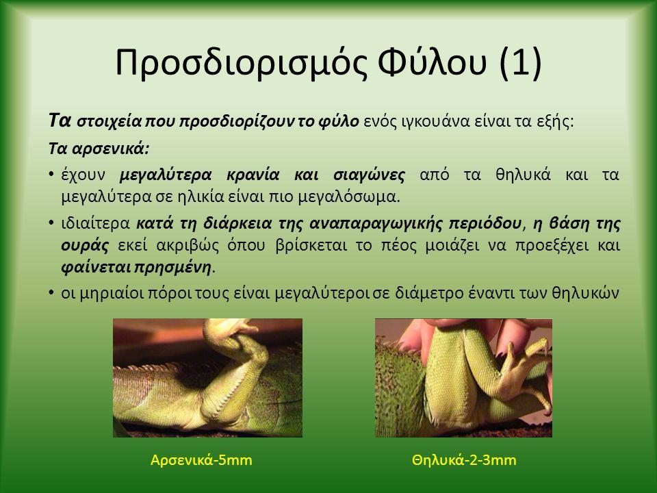 Προσδιορισμός Φύλου (1) Τα στοιχεία που προσδιορίζουν το φύλο ενός ιγκουάνα είναι τα εξής: Τα αρσενικά: • έχουν μεγαλύτερα κρανία και σιαγώνες από τα