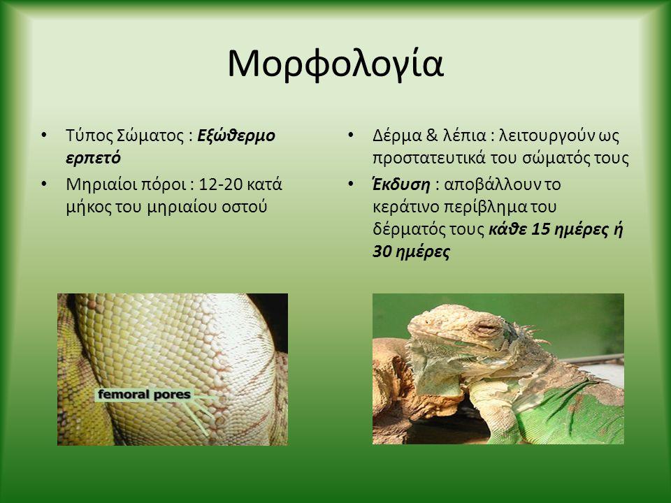 Μορφολογία • Τύπος Σώματος : Εξώθερμο ερπετό • Μηριαίοι πόροι : 12-20 κατά μήκος του μηριαίου οστού • Δέρμα & λέπια : λειτουργούν ως προστατευτικά του