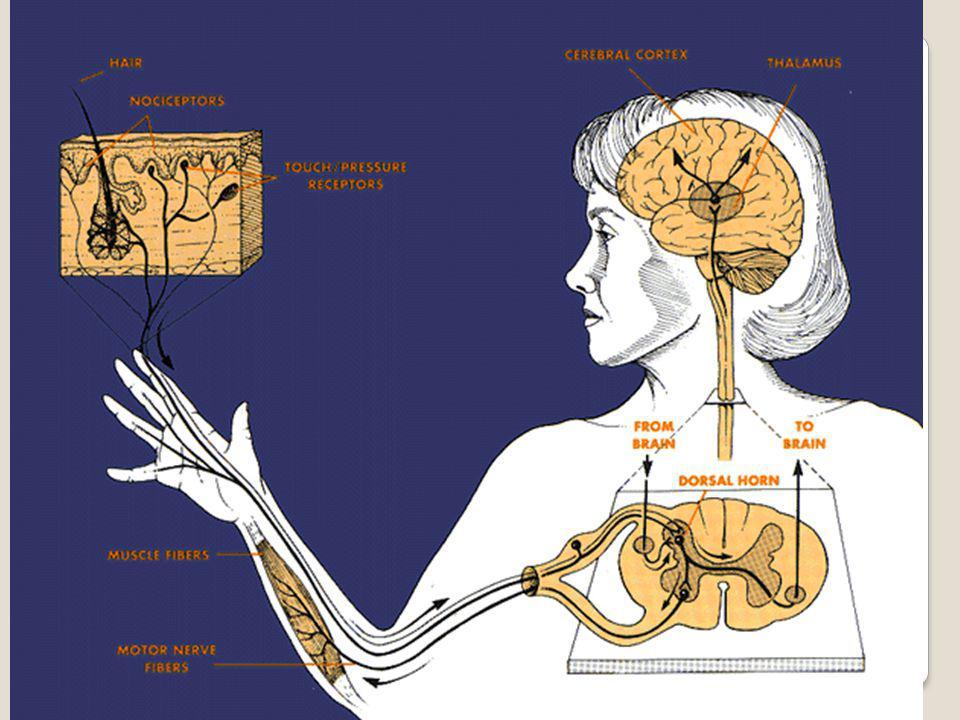 Δράση / λειτουργία  Οι Αβ διεγείρουν τους δ.α.ν.π.ο → αναστολή των Τ νευρώνων  Εμποδίζεται η αγωγή του επώδυνου ερεθίσματος από τις Αδ και C  Ισορροπία ανάμεσα σε Αβ, Αδ και C  Ανώτερα κέντρα αναστέλλουν και κλείνουν την πύλη  Διαδερμικός ηλεκτρικός ερεθισμός  Πόνος από απώλεια ερεθισμάτων από την περιφέρεια??????????