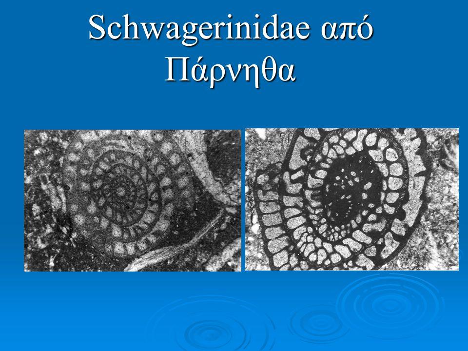 Schwagerinidae από Πάρνηθα