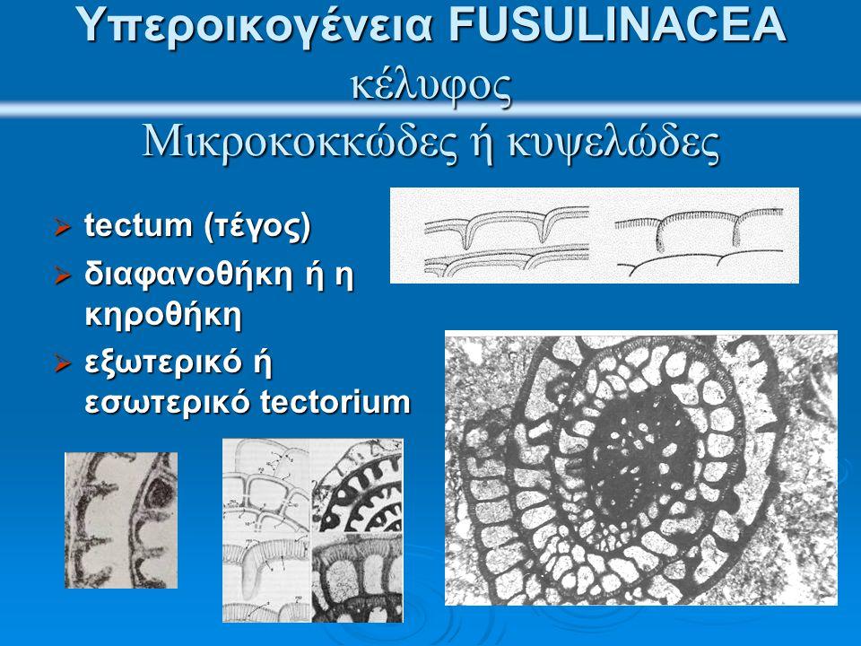 Υπεροικογένεια FUSULINACEA κέλυφος Μικροκοκκώδες ή κυψελώδες  tectum (τέγος)  διαφανοθήκη ή η κηροθήκη  εξωτερικό ή εσωτερικό tectorium