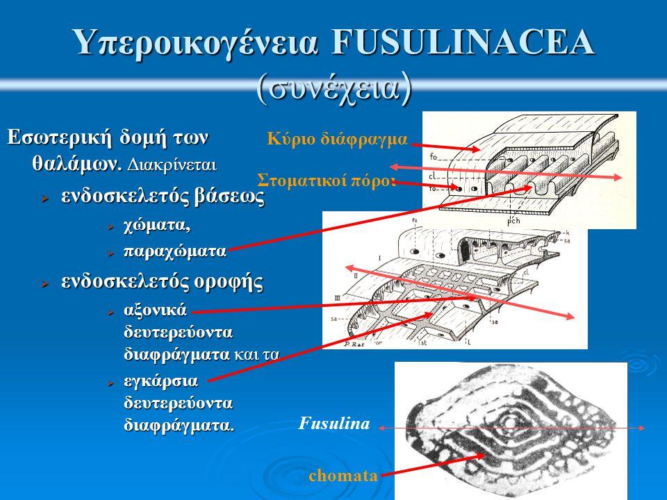 Υπεροικογένεια FUSULINACEA (συνέχεια ) Εσωτερική δομή των θαλάμων. Διακρίνεται  ενδοσκελετός βάσεως  χώματα,  παραχώματα  ενδοσκελετός οροφής  αξ