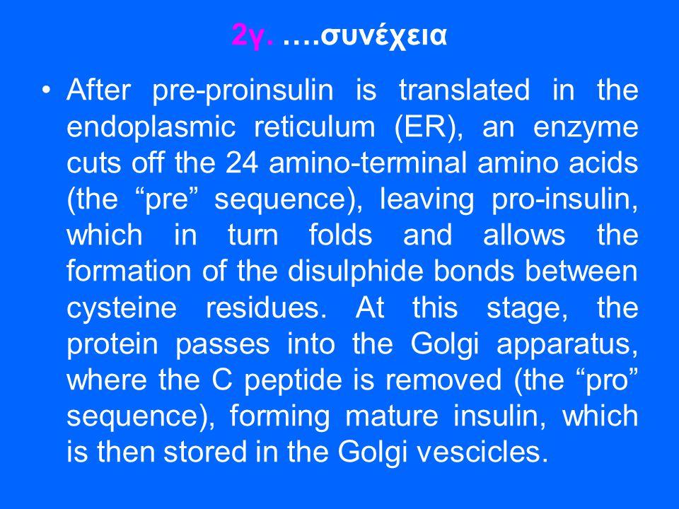 """2γ. ….συνέχεια •After pre-proinsulin is translated in the endoplasmic reticulum (ER), an enzyme cuts off the 24 amino-terminal amino acids (the """"pre"""""""