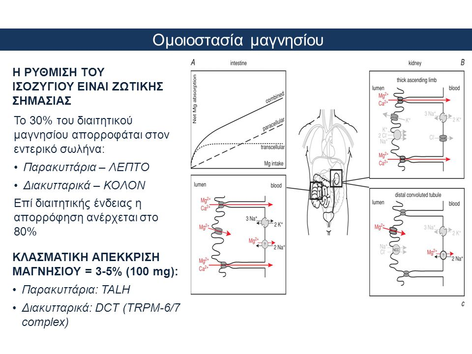 Νεφρική διαχείριση μαγνησίου •Η κύρια θέση επαναρρόφησης του μαγνησίου δεν είναι το ΕΕΣ vs άλλα ιόντα •Κύριος ρυθμιστικός παράγοντας είναι η συγκέντρωσή του στον ορό •Το 60% του διηθούμενου μαγνησίου επαναρροφάται παθητικά στο TALH με οδηγό δύναμη το θετικό δυναμικό του αυλού •Το 5-10% του διηθούμενου μαγνησίου επαναρροφάται διακυτταρικά στο DCT •Οι δίαυλοι TRPM6/7 αποτελούν εκλεκτικό κανάλι για το μαγνήσιο & χαρακτηρίζονται ως οι φύλακες πυλών (GATEKEEPERS) της ομοιοστασίας του Πηγή: Alexander T.