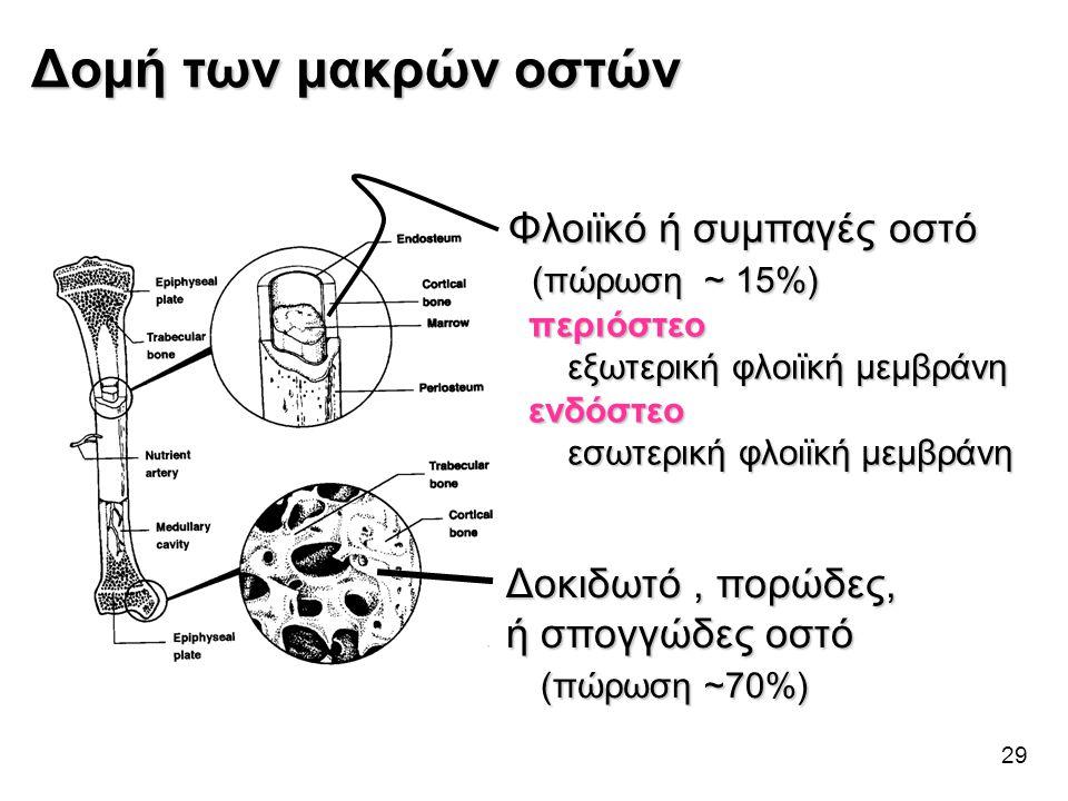 29 Δομή των μακρών οστών Φλοιϊκό ή συμπαγές οστό (πώρωση ~ 15%) (πώρωση ~ 15%) περιόστεο περιόστεο εξωτερική φλοιϊκή μεμβράνη εξωτερική φλοιϊκή μεμβρά
