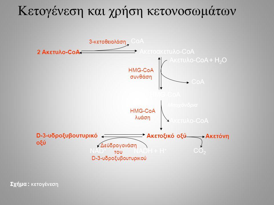 Κετογένεση και χρήση κετονοσωμάτων 2 Ακετυλο-CoA Ακετοακετυλο-CoA Ακετυλο-CoA + H 2 O HMG-CoA Ακετυλο-CoA Ακετοξικό οξύ Ακετόνη D-3-υδροξυβουτυρικό οξύ CoA NAD + NADH + H + CO 2 3-κετοθειολάση HMG-CoA συνθάση HMG-CoA λυάση Δεϋδρογονάση του D-3-υδροξυβουτυρικού Σχήμα : κετογένεση Μιτοχόνδρια