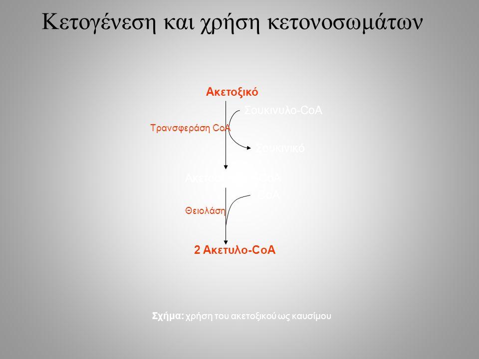 Κετογένεση και χρήση κετονοσωμάτων Ακετοξικό Ακετοακετυλο-CoA 2 Ακετυλο-CoA Σουκινυλο-CoA Σουκινικό CoA Τρανσφεράση CoA Θειολάση Σχήμα: χρήση του ακετοξικού ως καυσίμου