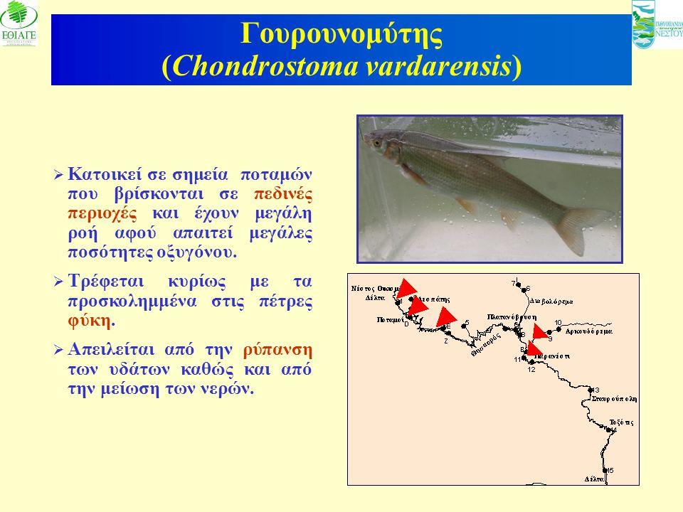 10 Γουρουνομύτης (Chondrostoma vardarensis)  Κατοικεί σε σημεία ποταμών που βρίσκονται σε πεδινές περιοχές και έχουν μεγάλη ροή αφού απαιτεί μεγάλες