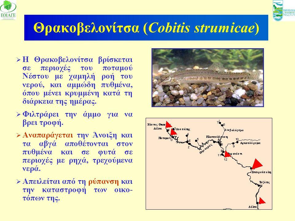 11 Θρακοβελονίτσα (Cobitis strumicae)  Η Θρακοβελονίτσα βρίσκεται σε περιοχές του ποταμού Νέστου με χαμηλή ροή του νερού, και αμμώδη πυθμένα, όπου μέ