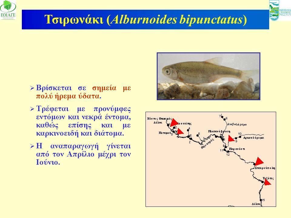 12 Τσιρωνάκι (Alburnoides bipunctatus)  Βρίσκεται σε σημεία με πολύ ήρεμα ύδατα.  Τρέφεται με προνύμφες εντόμων και νεκρά έντομα, καθώς επίσης και μ