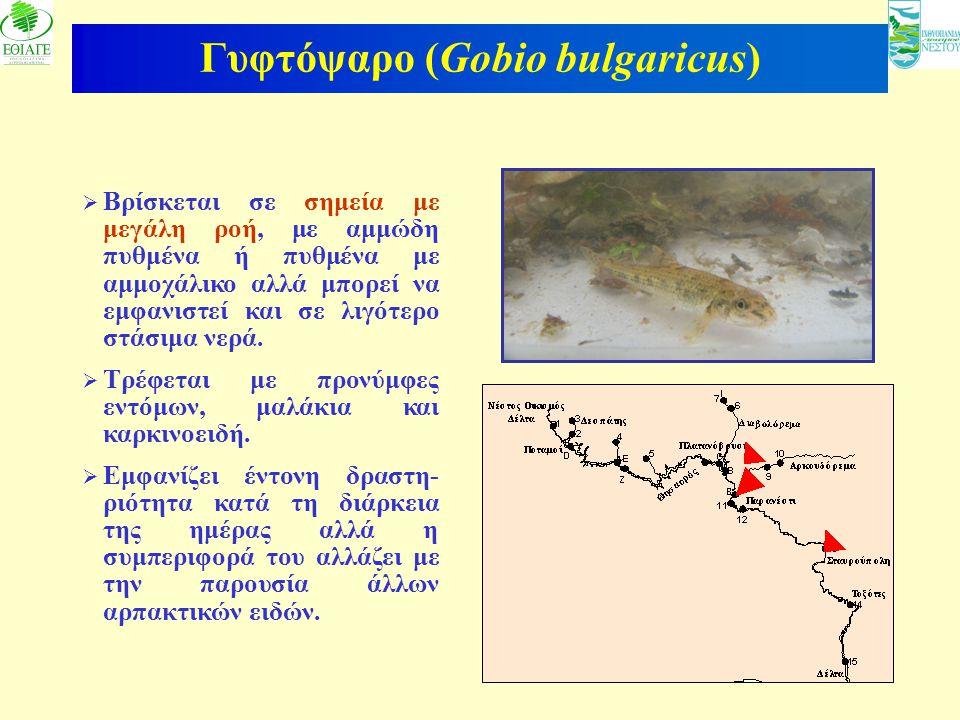 13 Γυφτόψαρο (Gobio bulgaricus)  Βρίσκεται σε σημεία με μεγάλη ροή, με αμμώδη πυθμένα ή πυθμένα με αμμοχάλικο αλλά μπορεί να εμφανιστεί και σε λιγότε
