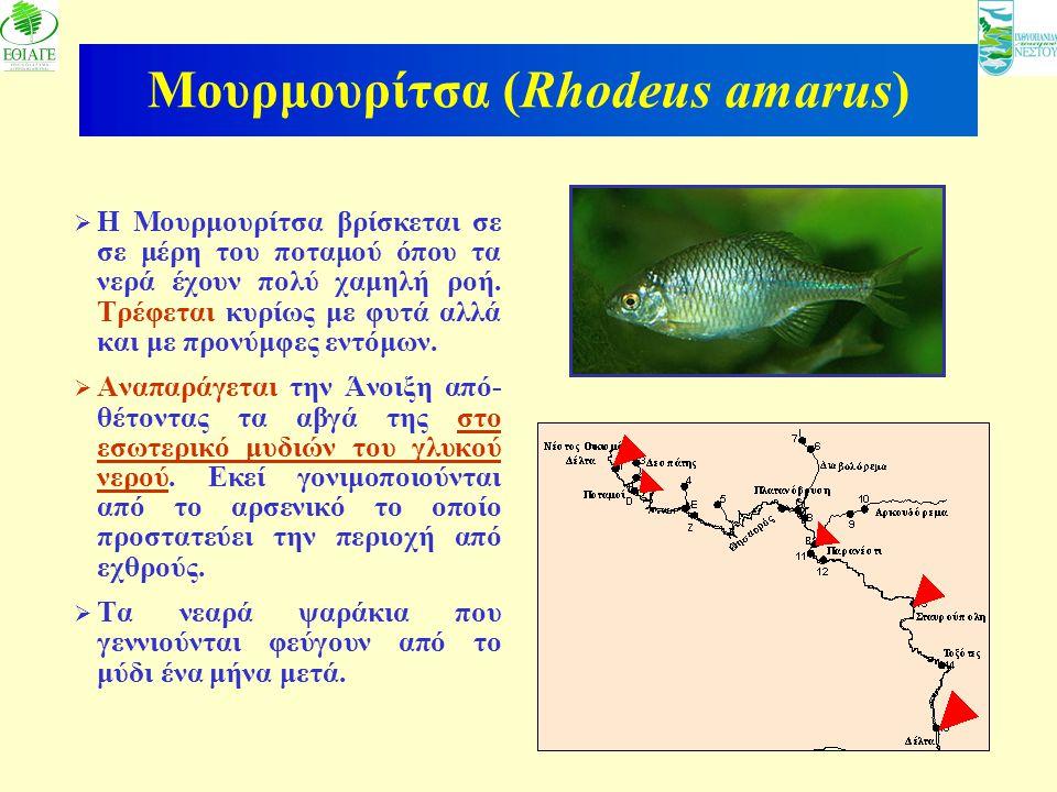 14 Μουρμουρίτσα (Rhodeus amarus)  Η Μουρμουρίτσα βρίσκεται σε σε μέρη του ποταμού όπου τα νερά έχουν πολύ χαμηλή ροή. Τρέφεται κυρίως με φυτά αλλά κα