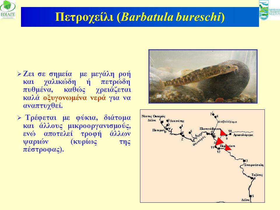 15 Πετροχείλι (Barbatula bureschi)  Ζει σε σημεία με μεγάλη ροή και χαλικώδη ή πετρώδη πυθμένα, καθώς χρειάζεται καλά οξυγονωμένα νερά για να αναπτυχ