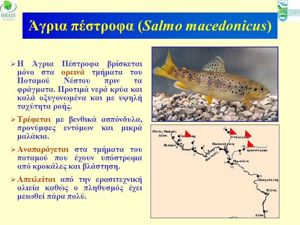 16 Άγρια πέστροφα (Salmo macedonicus)  Η Άγρια Πέστροφα βρίσκεται μόνο στα ορεινά τμήματα του Ποταμού Νέστου πριν τα φράγματα. Προτιμά νερά κρύα και