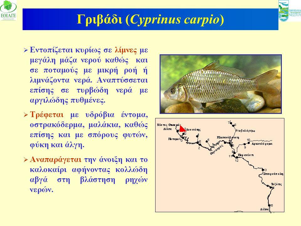 17 Γριβάδι (Cyprinus carpio)  Εντοπίζεται κυρίως σε λίμνες με μεγάλη μάζα νερού καθώς και σε ποταμούς με μικρή ροή ή λιμνάζοντα νερά. Αναπτύσσεται επ