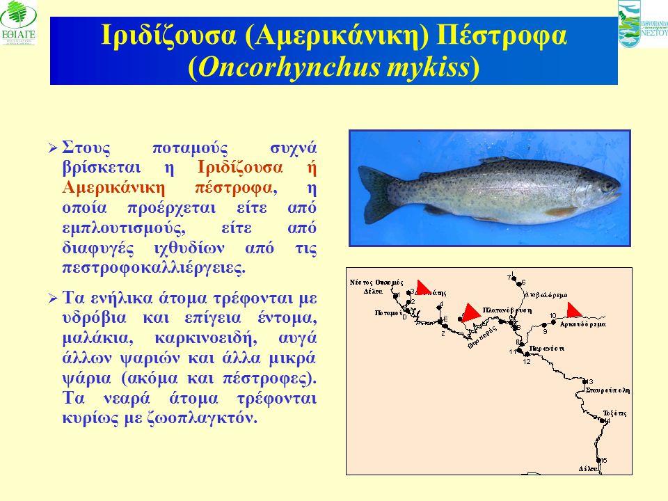 19 Ιριδίζουσα (Αμερικάνικη) Πέστροφα (Oncorhynchus mykiss)  Στους ποταμούς συχνά βρίσκεται η Ιριδίζουσα ή Αμερικάνικη πέστροφα, η οποία προέρχεται εί