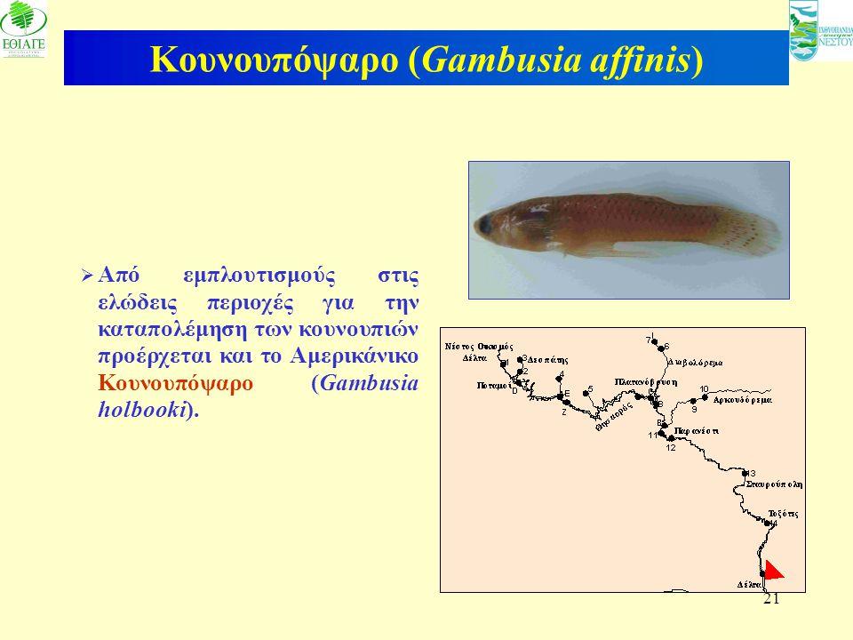 21 Κουνουπόψαρο (Gambusia affinis)  Από εμπλουτισμούς στις ελώδεις περιοχές για την καταπολέμηση των κουνουπιών προέρχεται και το Αμερικάνικο Κουνουπ