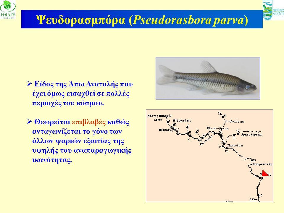 22 Ψευδορασμπόρα (Pseudorasbora parva)  Είδος της Άπω Ανατολής που έχει όμως εισαχθεί σε πολλές περιοχές του κόσμου.  Θεωρείται επιβλαβές καθώς αντα