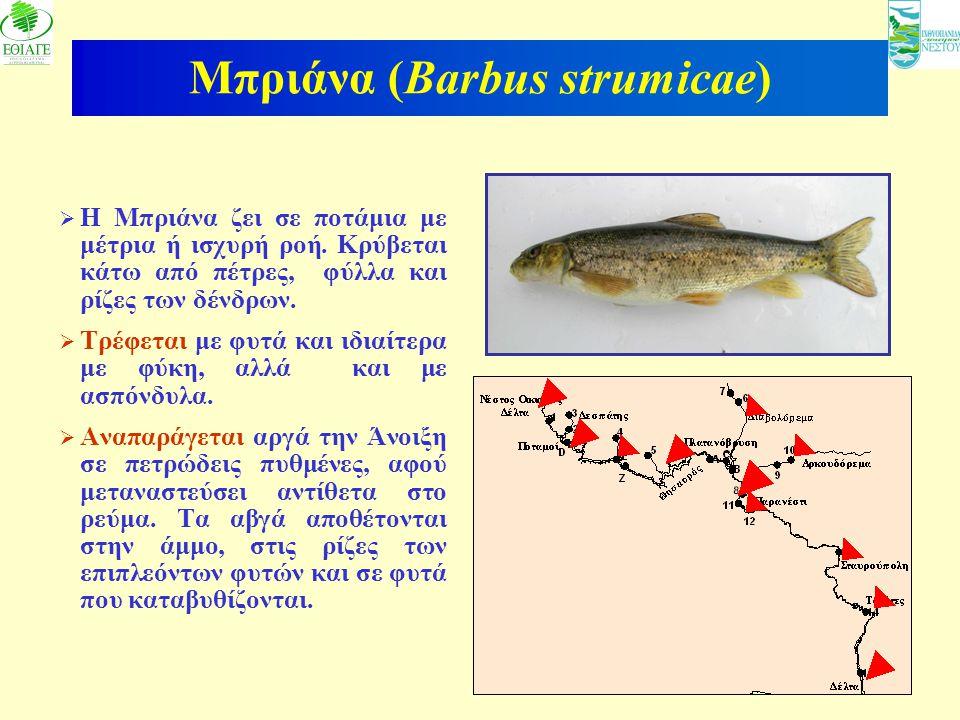 6 Μπριάνα (Barbus strumicae)  Η Μπριάνα ζει σε ποτάμια με μέτρια ή ισχυρή ροή. Κρύβεται κάτω από πέτρες, φύλλα και ρίζες των δένδρων.  Τρέφεται με φ