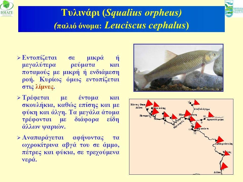 7 Τυλινάρι (Squalius orpheus) ( παλιό όνομα: Leuciscus cephalus)  Εντοπίζεται σε μικρά ή μεγαλύτερα ρεύματα και ποταμούς με μικρή ή ενδιάμεση ροή. Κυ