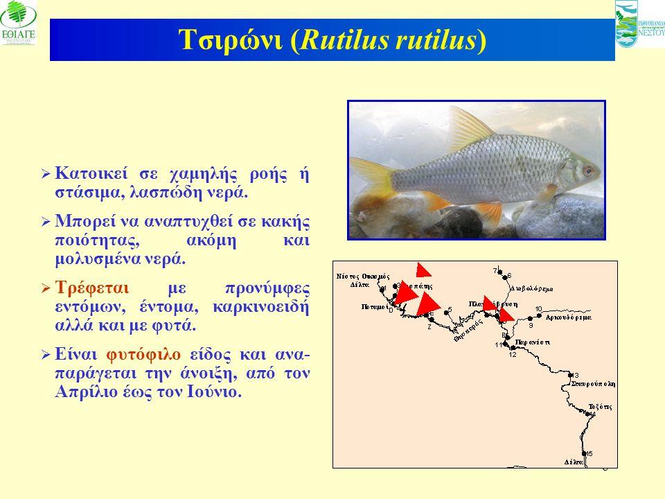 8 Τσιρώνι (Rutilus rutilus)  Κατοικεί σε χαμηλής ροής ή στάσιμα, λασπώδη νερά.  Μπορεί να αναπτυχθεί σε κακής ποιότητας, ακόμη και μολυσμένα νερά. 