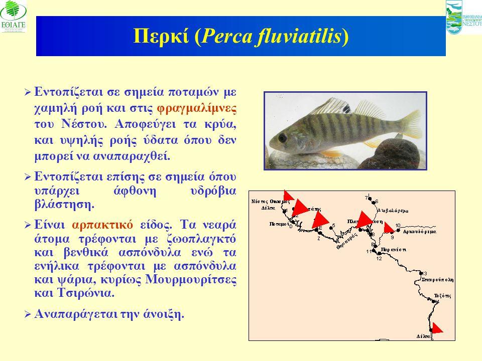 9  Εντοπίζεται σε σημεία ποταμών με χαμηλή ροή και στις φραγμαλίμνες του Νέστου. Αποφεύγει τα κρύα, και υψηλής ροής ύδατα όπου δεν μπορεί να αναπαραχ