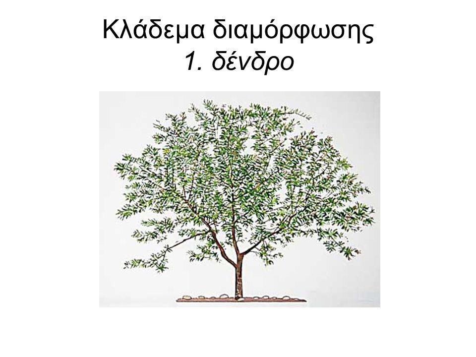 Κλάδεμα διαμόρφωσης 1. δένδρο