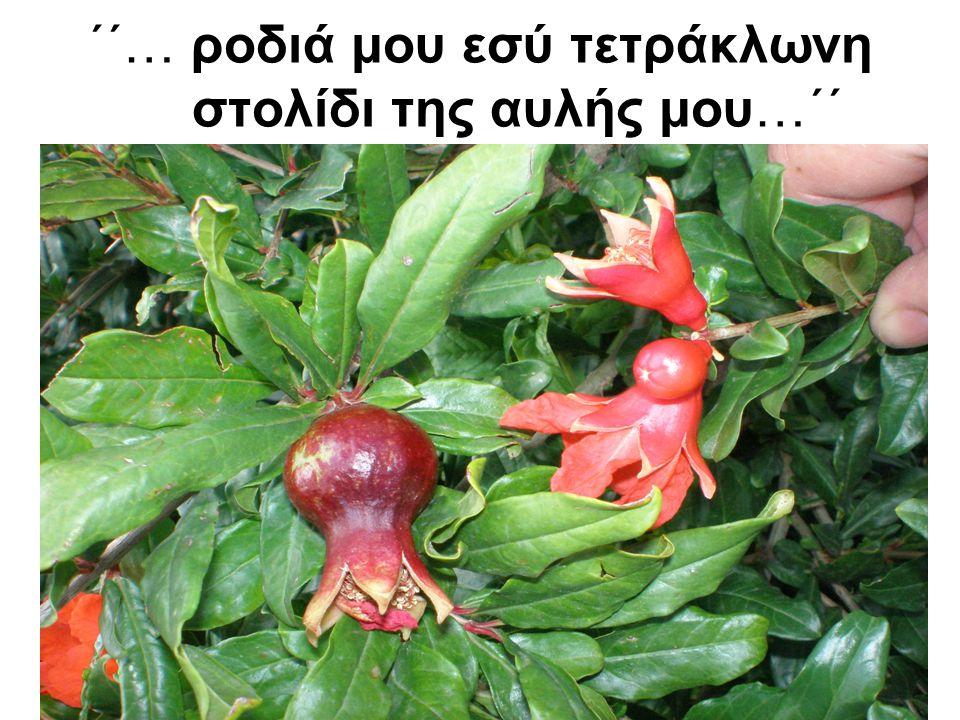 Το φυτικό είδος •Ροδιά (Punica granatum) •ανήκει στην οικογένεια των Πουνικοειδών που περιλαμβάνει μόνο ένα γένος και δύο είδη (P.