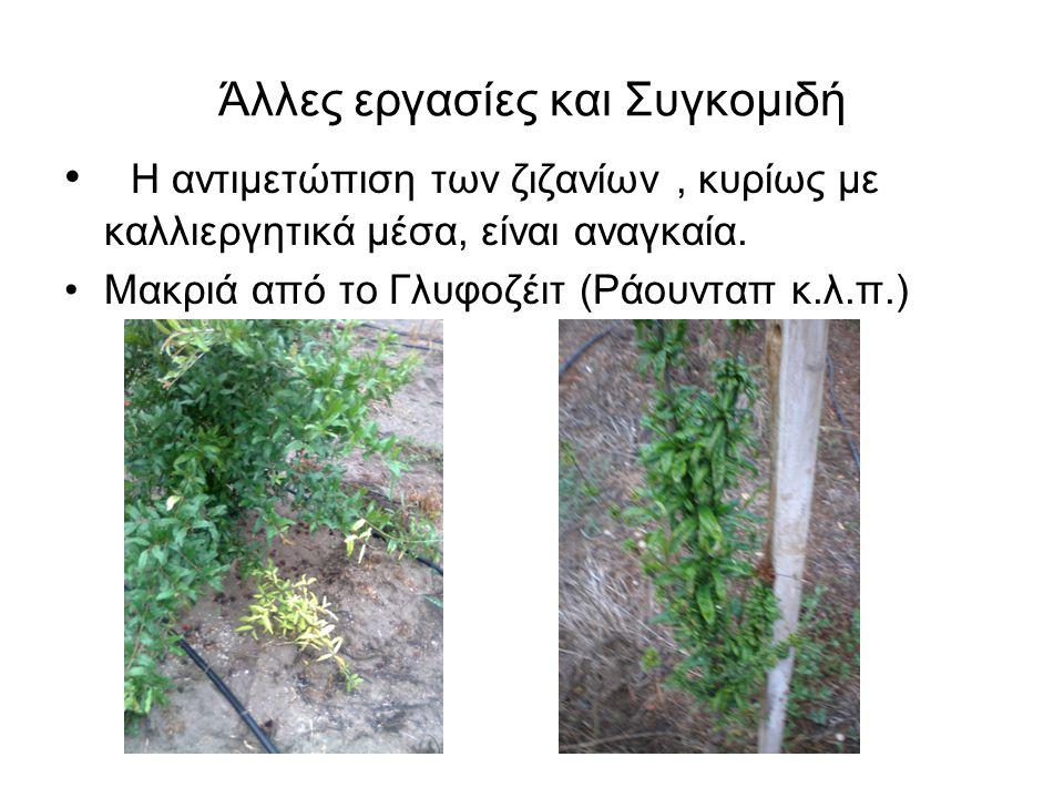 Άλλες εργασίες και Συγκομιδή • Η αντιμετώπιση των ζιζανίων, κυρίως με καλλιεργητικά μέσα, είναι αναγκαία. •Μακριά από το Γλυφοζέιτ (Ράουνταπ κ.λ.π.)