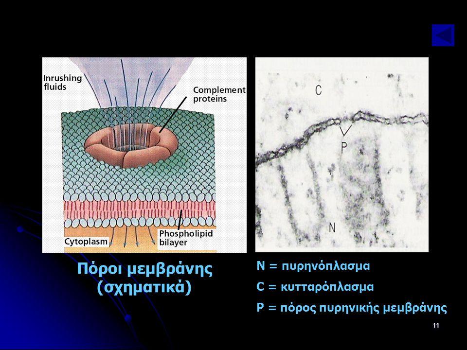 Παν. Πάλλα - ΕΚΦΕ Ν. ΣΜΥΡΝΗΣ11 Ν = πυρηνόπλασμα C = κυτταρόπλασμα Ρ = πόρος πυρηνικής μεμβράνης Πόροι μεμβράνης (σχηματικά)