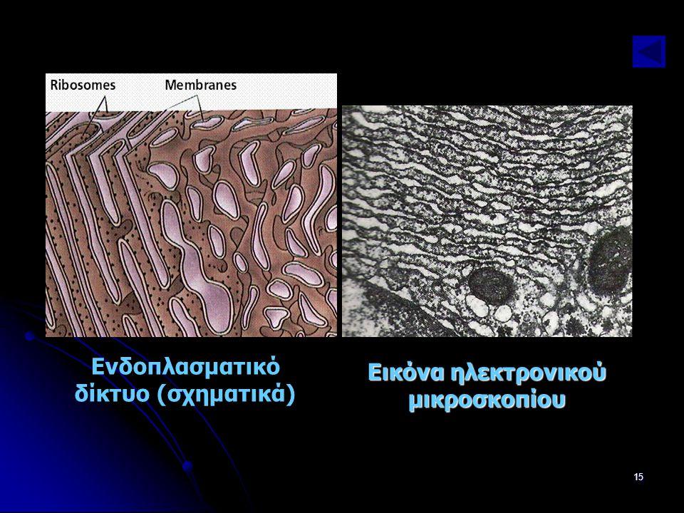 Παν. Πάλλα - ΕΚΦΕ Ν. ΣΜΥΡΝΗΣ15 Ενδοπλασματικό δίκτυο (σχηματικά) Εικόνα ηλεκτρονικού μικροσκοπίου