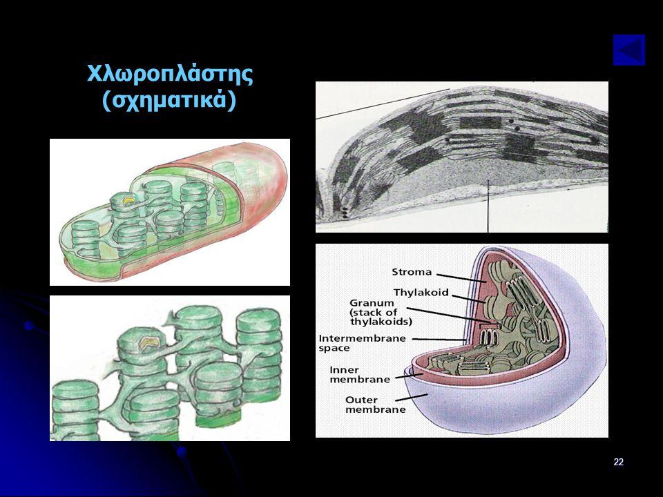 Παν. Πάλλα - ΕΚΦΕ Ν. ΣΜΥΡΝΗΣ22 Χλωροπλάστης (σχηματικά)