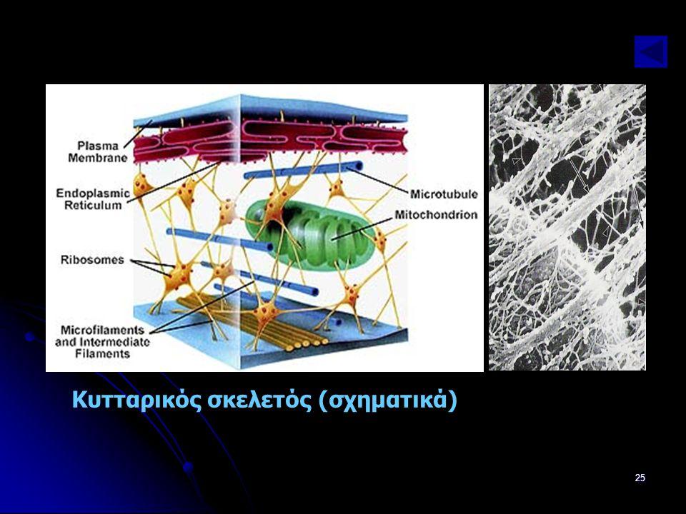 Παν. Πάλλα - ΕΚΦΕ Ν. ΣΜΥΡΝΗΣ25 Κυτταρικός σκελετός (σχηματικά)