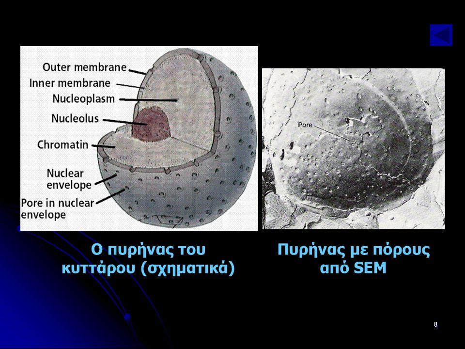 Παν. Πάλλα - ΕΚΦΕ Ν. ΣΜΥΡΝΗΣ8 Ο πυρήνας του κυττάρου (σχηματικά) Πυρήνας με πόρους από SEM
