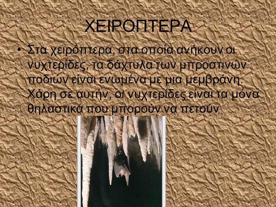 ΧΕΙΡΟΠΤΕΡΑ •Στα χειρόπτερα, στα οποία ανήκουν οι νυχτερίδες, τα δάχτυλα των μπροστινών ποδιών είναι ενωμένα με μια μεμβράνη.