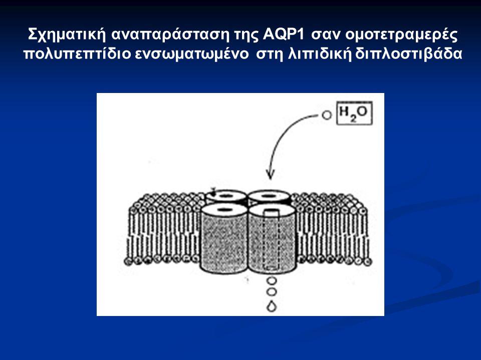Σχηματική αναπαράσταση της AQP1 σαν ομοτετραμερές πολυπεπτίδιο ενσωματωμένο στη λιπιδική διπλοστιβάδα