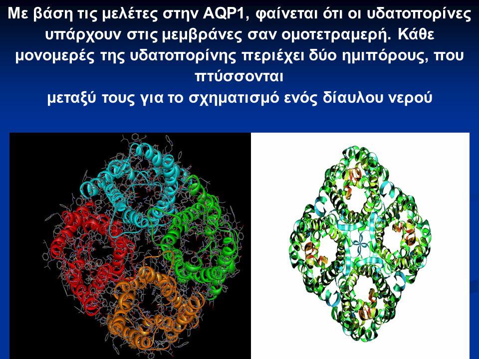 Με βάση τις μελέτες στην AQP1, φαίνεται ότι οι υδατοπορίνες υπάρχουν στις μεμβράνες σαν ομοτετραμερή. Κάθε μονομερές της υδατοπορίνης περιέχει δύο ημι