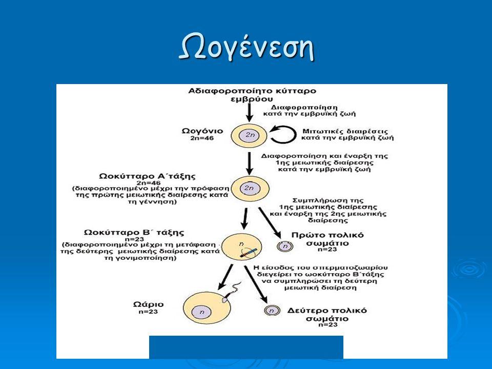 Πλακούντιο αγελάδας Σχηματίζεται από μια εμβρυογενή κοτυληδόνα και ένα μητριαίο έπαρμα (φύμα) Placentome Fetal Cotyledon Maternal Caruncle Allantois – Blood Vessels
