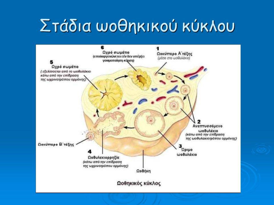 Umbilical Cord Allantoic Blood Vessels