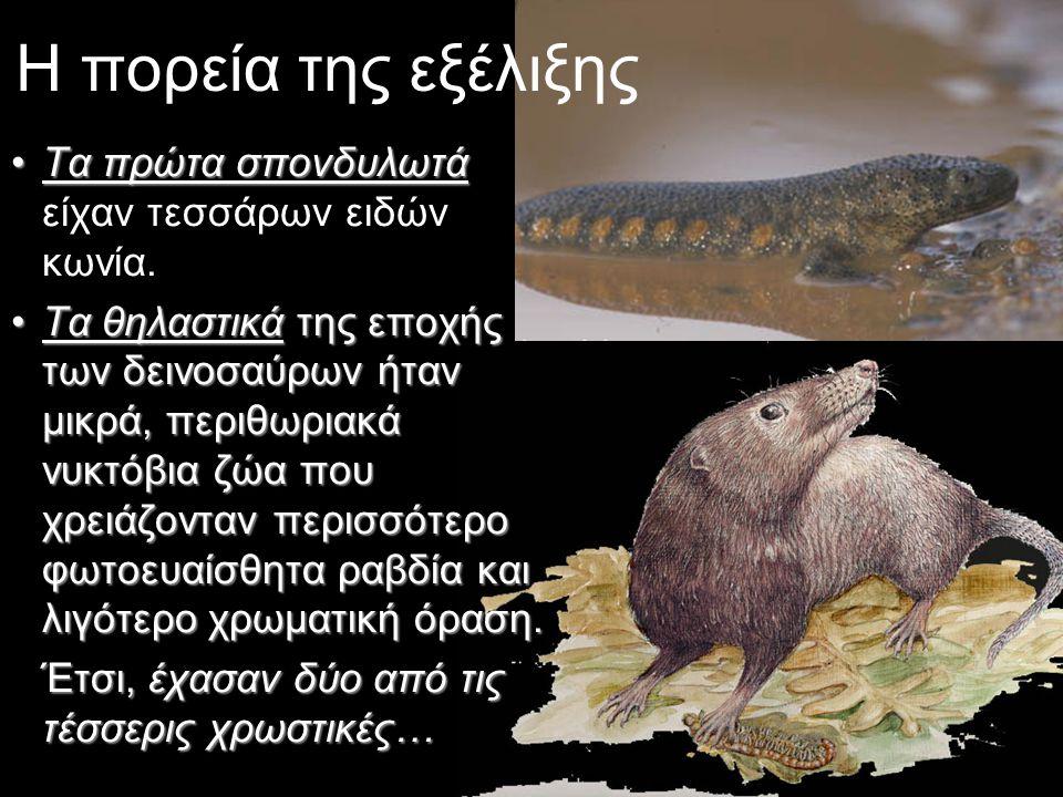 Η πορεία της εξέλιξης •Τα πρώτα σπονδυλωτά •Τα πρώτα σπονδυλωτά είχαν τεσσάρων ειδών κωνία. •Τα θηλαστικά της εποχής των δεινοσαύρων ήταν μικρά, περιθ