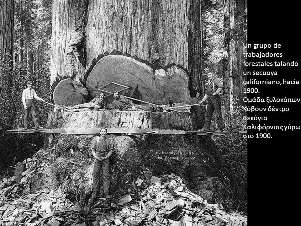 Un grupo de trabajadores forestales talando un secuoya californiano, hacia 1900. Ομάδα ξυλοκόπων Κόβουν δέντρο σεκόγια Καλιφόρνιας γύρω στο 1900.