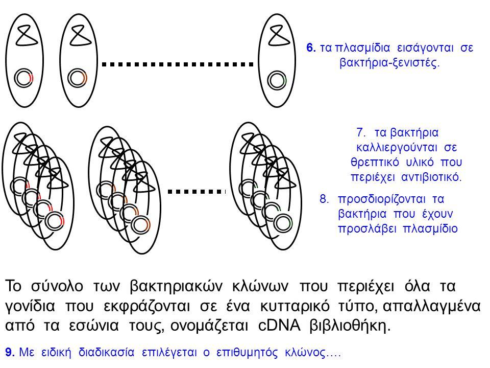 Στάδια κατασκευής cDNA βιβλιοθήκης 1 2ν ώριμο mRNA γονιδίου Χ 1. απομόνωση ολικού ώριμου mRNA από τα κύτταρα- «στόχους» 2. σύνθεση mRNA – cDNA 3. το υ
