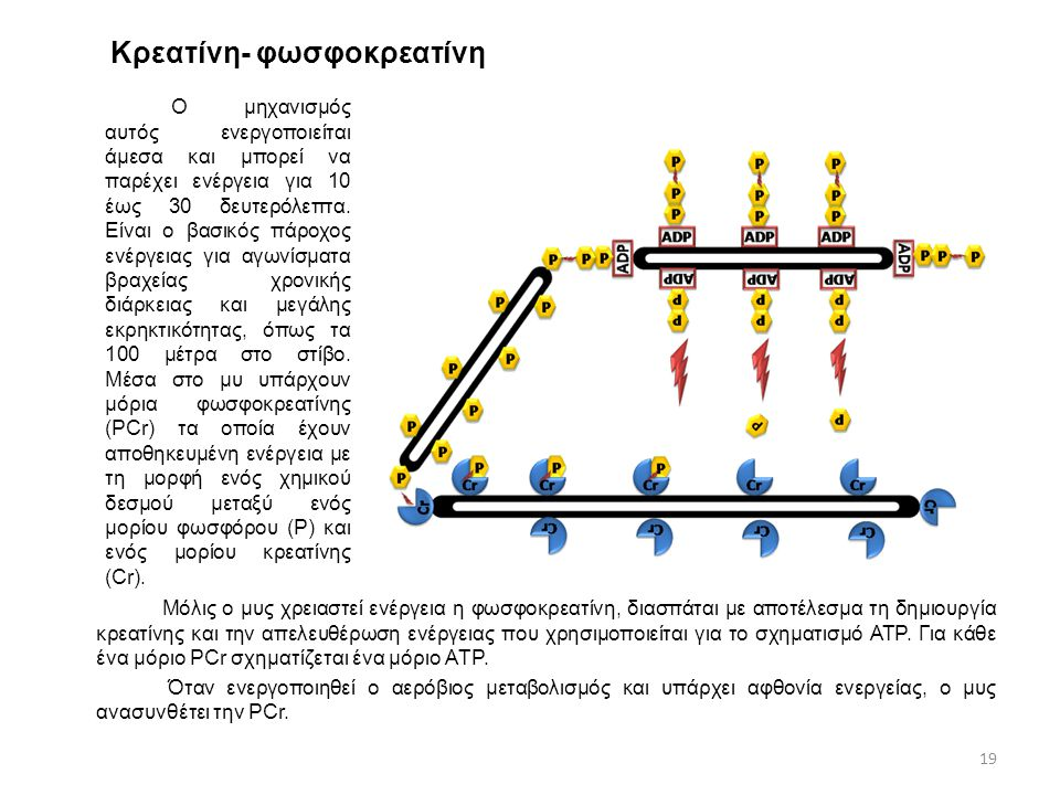 Κρεατίνη- φωσφοκρεατίνη Ο μηχανισμός αυτός ενεργοποιείται άμεσα και μπορεί να παρέχει ενέργεια για 10 έως 30 δευτερόλεπτα. Είναι ο βασικός πάροχος ενέ
