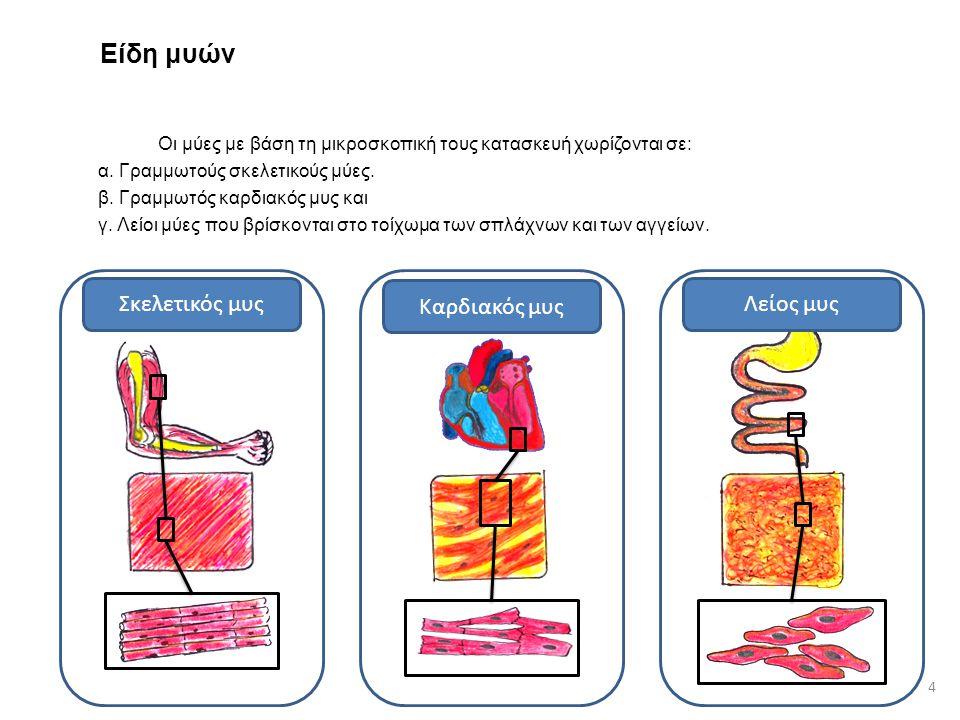 Είδη μυών Οι μύες με βάση τη μικροσκοπική τους κατασκευή χωρίζονται σε: α. Γραμμωτούς σκελετικούς μύες. β. Γραμμωτός καρδιακός μυς και γ. Λείοι μύες π