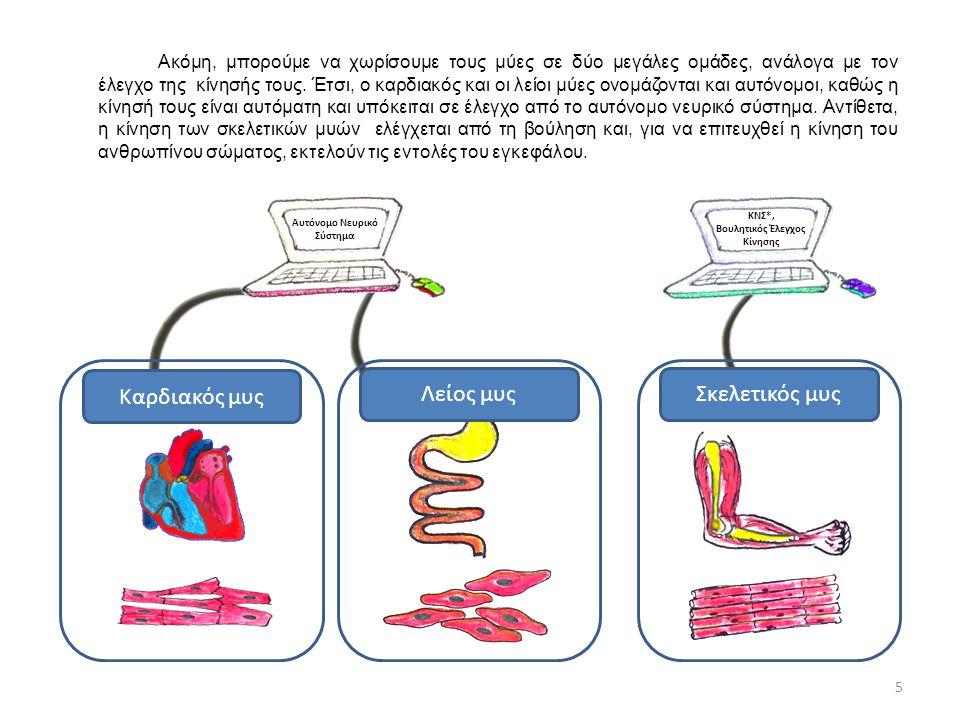 Ακόμη, μπορούμε να χωρίσουμε τους μύες σε δύο μεγάλες ομάδες, ανάλογα με τον έλεγχο της κίνησής τους. Έτσι, ο καρδιακός και οι λείοι μύες ονομάζονται